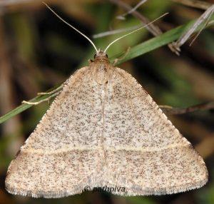 Petrophora narbonea 06 2