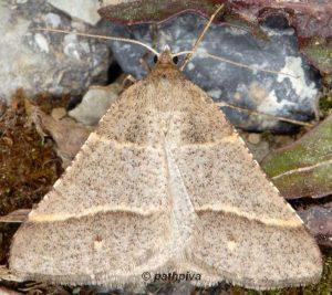 Petrophora narbonea 06 3