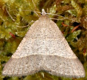 Petrophora narbonea 06 4