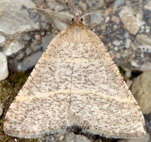 Petrophora narbonea 06 5