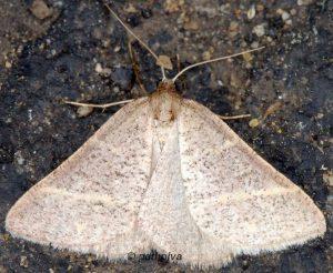 Petrophora narbonea 06 6