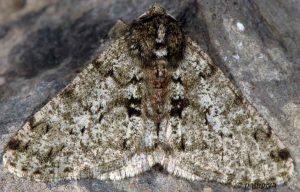Phigalia pilosaria 06 1