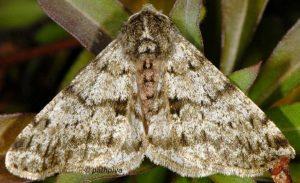 Phigalia pilosaria 06 2