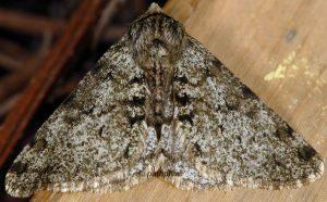 Phigalia pilosaria 06 4
