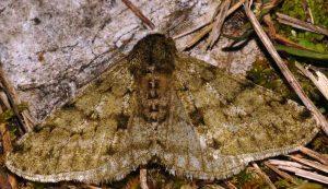 Phigalia pilosaria 34 1