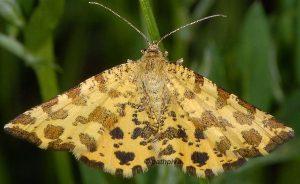 Pseudopanthera macularia 06 1