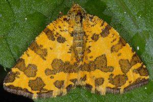 Pseudopanthera macularia 07 1