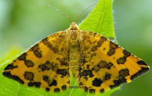 Pseudopanthera macularia 73 1