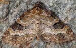 Pterapherapteryx sexalata 38 2