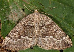 Pungeleria capreolaria 06 1