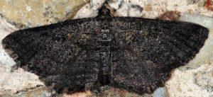 Rhoptria asperaria 06 2