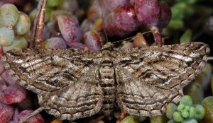 Sardocyrnia bastelicaria 2B 1