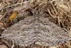 Sardocyrnia bastelicaria 2B 6