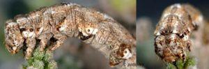 Sardocyrnia bastelicaria L4 2B 3