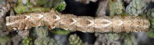 Sardocyrnia bastelicaria L4 2B 5