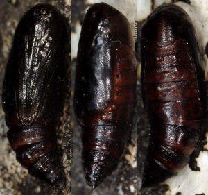 Sardocyrnia bastelicaria chrysalide 2B 1