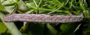 Selidosema brunnearia9)