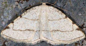 Stegania trimaculata 06 1