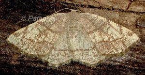 Stegania trimaculata 06 2