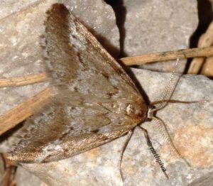 Tephronia oranaria 66 1
