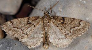 Tephronia sepiaria 04 1