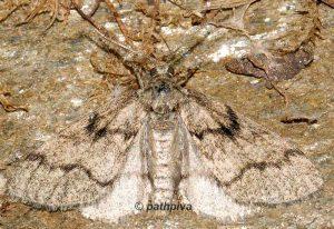 Tephronia sepiaria 34 1