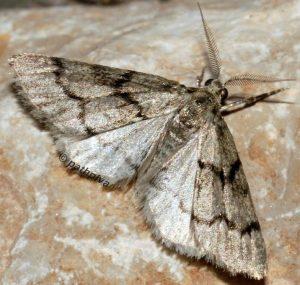 Tephronia sepiaria 34 2