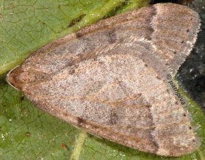 Theria rupicapraria 06 1