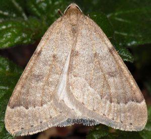 Theria rupicapraria 06 2