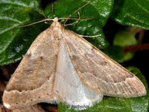Theria rupicapraria 06 3