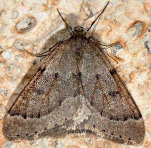 Theria rupicapraria 06 4