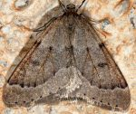 Theria rupicapraria 06 4