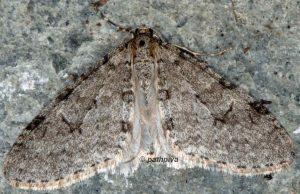 Trichopteryx carpinata 06 1