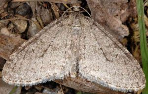 Trichopteryx carpinata 06 2