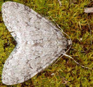 Trichopteryx carpinata 06 3