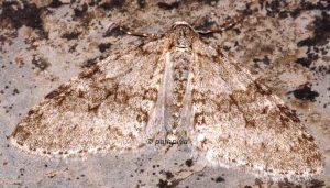 Trichopteryx carpinata 38 1