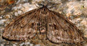 Trichopteryx polycommata 05 1