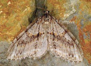 Tricopteryx polycommata