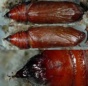 Triphosa sabaudiata chrysalide 06 1