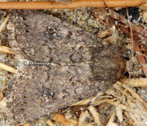 Caradrina-germainii-13-2