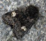 Coranarta cordigera (I)