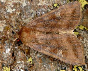 Lacanobia splendens 01 1