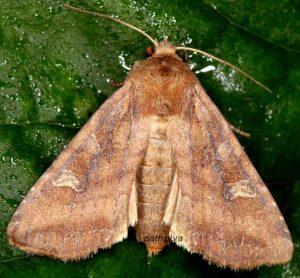 Lacanobia splendens 01 2