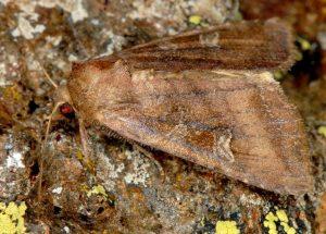 Lacanobia splendens 01 3
