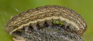Hecatera bicolorata L4 1